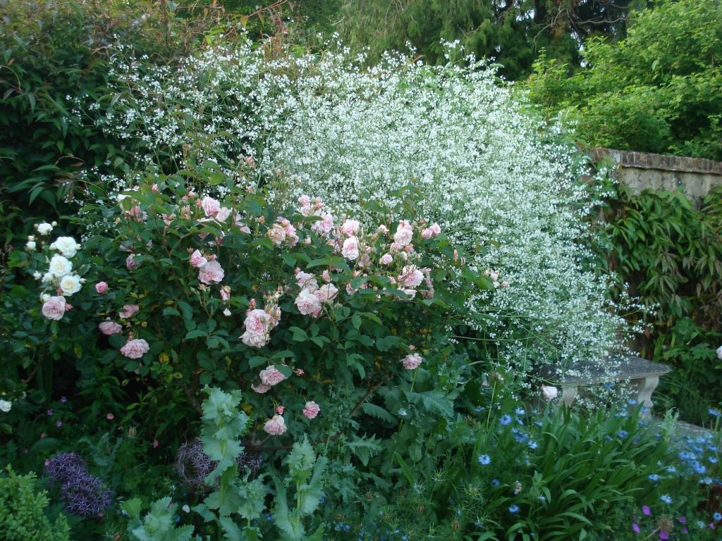 Rosa 'Felicia' and Crambe cordifolia