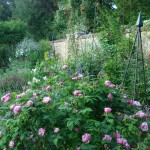 Rosa 'Ferdinand Pichard' in mixed border