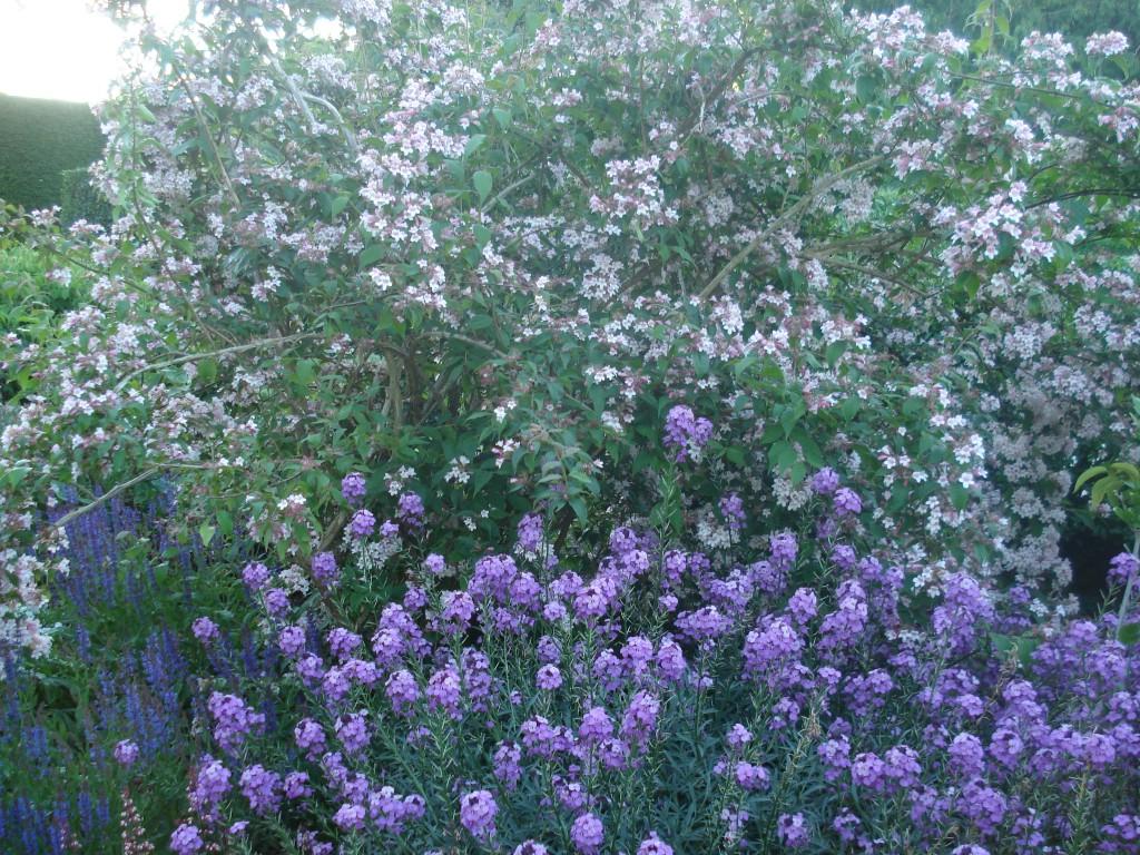 Kolkwizia amabilis and Erysmium 'Bowles mauve'