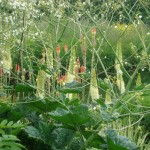 crambe, red hot pokers and eremurus
