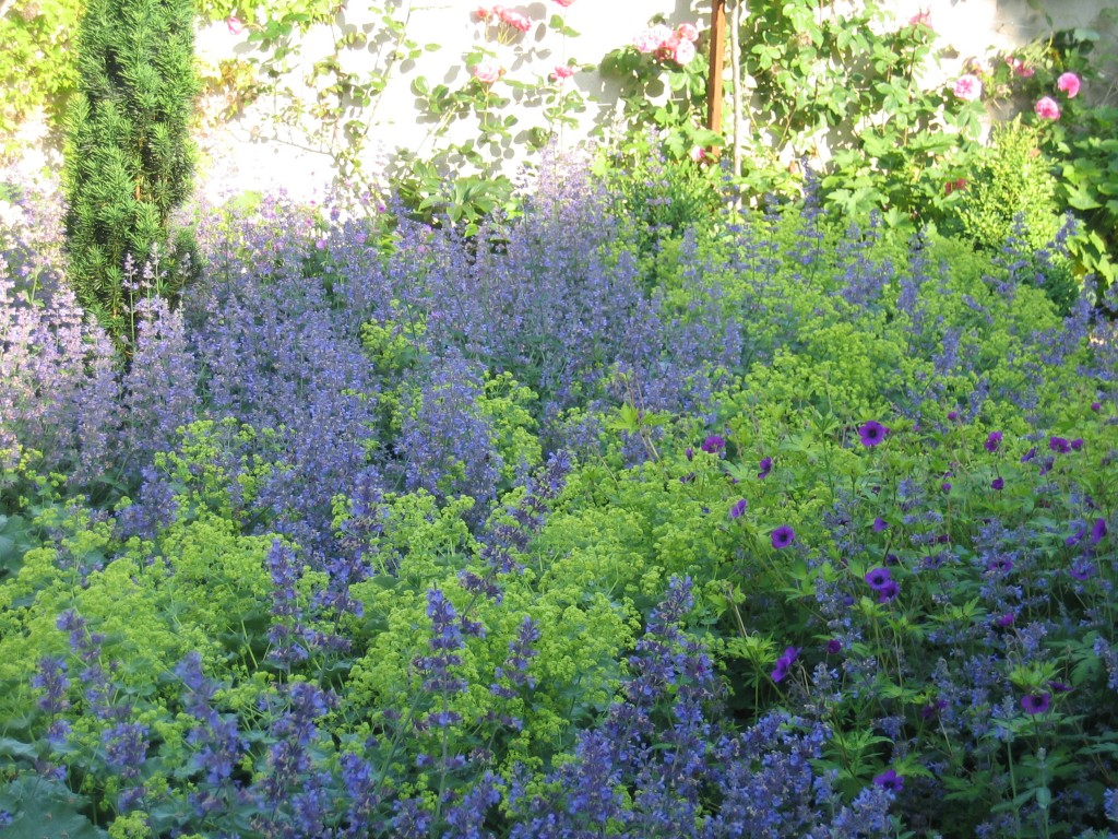 alchemilla and nepeta