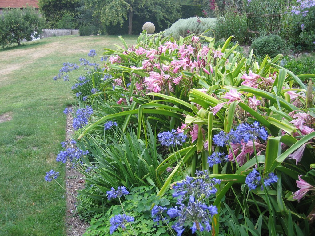 crinum and agapanthus